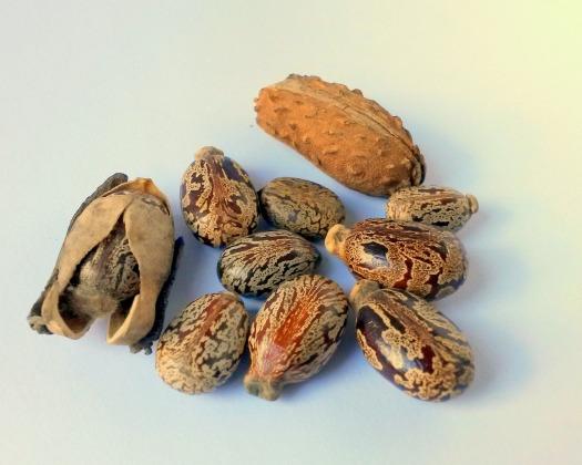 castor-oil-seeds-327186_1920.jpg